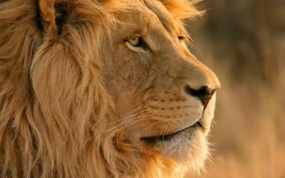 lion dev preview 3 wallpaper 1305408908